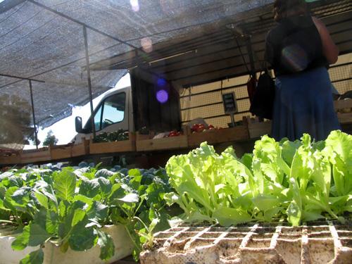 Couves e alfaces para plantar