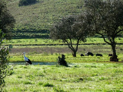 Cegonha e Porcos Pretos