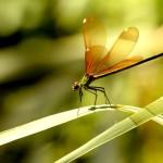 Calopteryx virgo - Fêmea