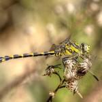 Onycogomphus uncatus - Macho