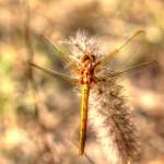 Orthetrum coerulescens - Fêmea