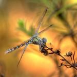 Paragomphus genei - Fêmea