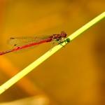 Pyrrhosoma nimphula - Macho